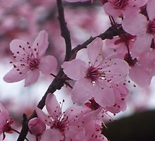 Cherry Blossoms by robynlindsey