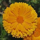 Calendula by Penny Smith