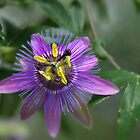 Passion Flower.....Passiflora by Poete100