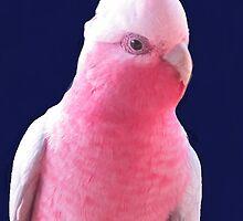 Australian Pink Galah by Fungiphile