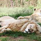 Pair of White Lions by Carole-Anne