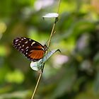 Monarch Butterfly On a Twig by Diego  Re
