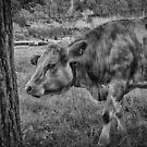 Swiss Cow by Adam Northam