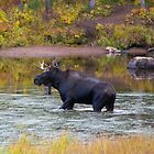 Fall male moose by Luann wilslef