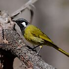 White-Earred Honeyeater by Leslie-Ann