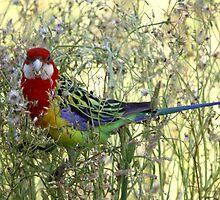 Birdy Num Nums by Gary  Davey (Jordy)