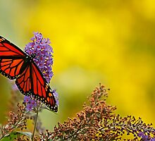 monarch on yellow by Manon Boily