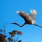 The Eastern Great Egret 2 by Peter Doré