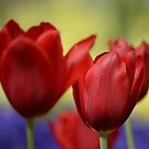 Tulips by Jessica Fittock