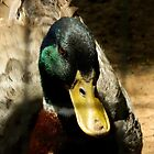 Meet Mr. Mallard    ^ by ctheworld