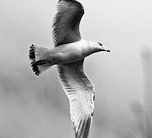 Gull in flight by Dwellsphoto