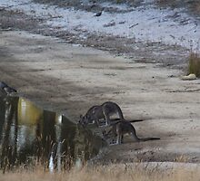 Kangaroos Drinking by LisaGHunter