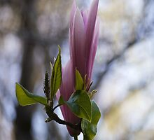Magnolia the Queen of flowers by RGKphotos