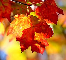 Autumn's Maple II by Kathleen Daley
