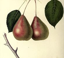 pears by #Palluch #Art