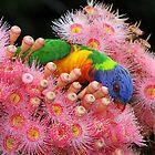 Classic Rainbow Lorikeet ! by jozi1