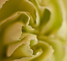 Carnation Macro by Sandra Foster