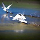 Swans Takeoff by damhotpepper