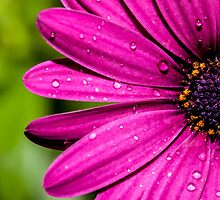 Daisy after rain by Casey Argall