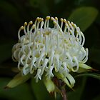 White Waratah 2014 by Michael Matthews