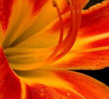 Daylily Bloom   ^ by ctheworld