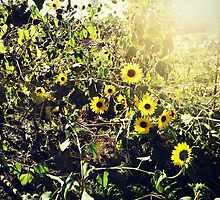 Sunflowers.  by silviasunflower