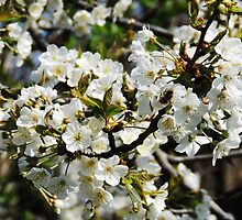 Pear Blossoms by AC-Photography