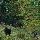 Cows 5 by Carolyn Clark
