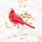 Northern Cardinal - Male -  Cardinalis cardinalis  by MotherNature2