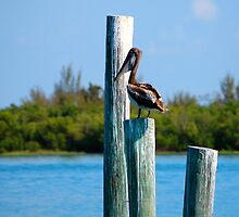Pelican at The Inlet Ft. Pierce, Florida by BuffaloBob