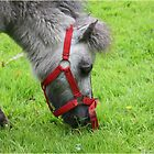 Little Donkey by Mounty
