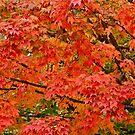 Maple leaves by Carolyn Clark