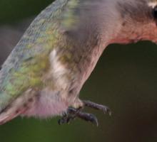 HUMMINGBIRD ANNA'S FLAPS UP Sticker