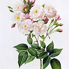 Rosa noisettiana.  Pierre Joseph Redoute  vintage botanical illustration. by naturematters