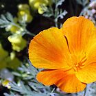 California Poppy Power by Corri Gryting Gutzman