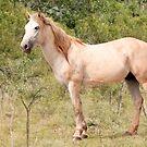 Bush Horse   by Jenny Dean