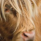 Highland Cow Portrait by Chris Thaxter