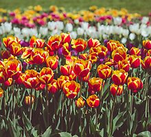 Tulips by sgbphotos