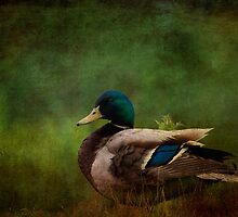 Mallard Duck  by chris2766