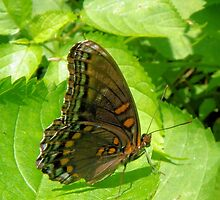 Brown Butterfly by Bob Hardy