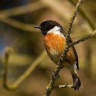 Stonechat by Jon Lees
