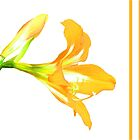 Golden Lily on White by Rosalie Scanlon