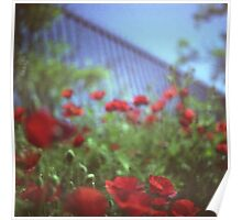 Poppies growing up fence in hot summer square Hasselblad medium format film analog photograph Poster