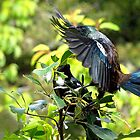 Tui.......this is my patch......KEEP OFF.....! by Roy  Massicks
