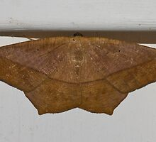 Large Maple Spanworm Moth by Otto Danby II
