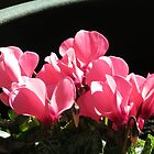 Cyclamen Sunbathing by kathrynsgallery