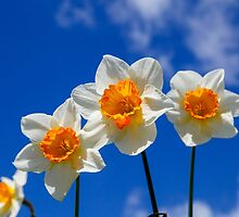 Spring Daffodil Flowers with Blue Sky by broomhillphoto