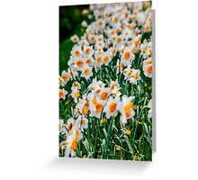 Countless Spring daffodils  Greeting Card