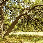 Live Oak by Colin Bester