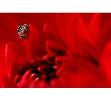 jumping spider and red dalhia Photographic Print